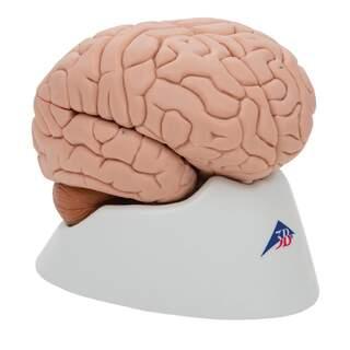 Hjärnmodell med ett mindre naturtroget utseende. Kan åtskiljas i 8 delar