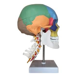 Kranie modell med halskotor och never och färg