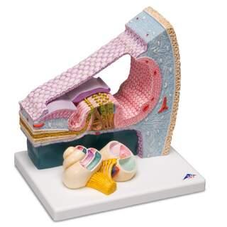 Modell av Cortis organ