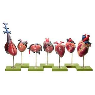 Hjärtmodeller av ryggradsdjur (SOMSO)