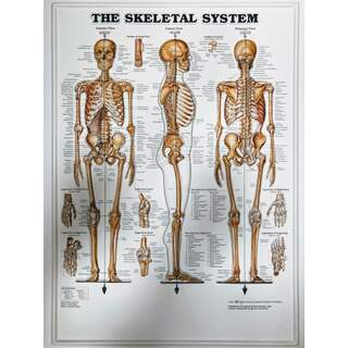 Skelettsystemet 3D - Anatomiplansch