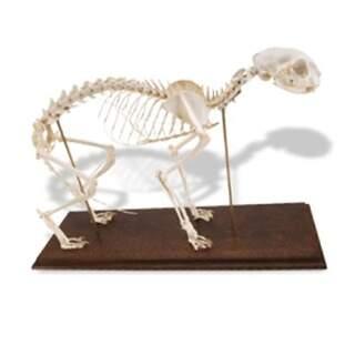 Äkta kattskelett (Felis catus) med flexibla leder