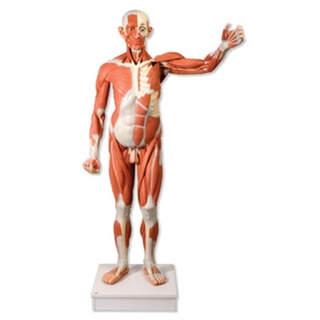 Manlig muskelfigur i naturlig storlek