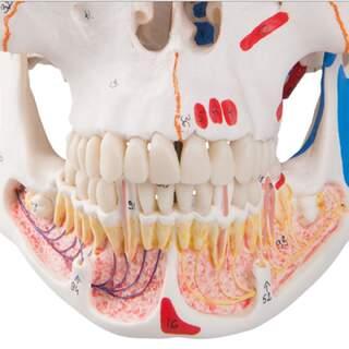 Kraniemodell med blodkärl och nerver i underkäken samt muskelmarkeringar.