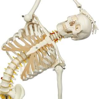 Flexibelt skelett från 3B