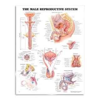 Manliga könsorgan (Male reproductive system) plansch