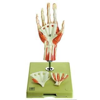 Handmuskelmodell med en del av underarmen, stående