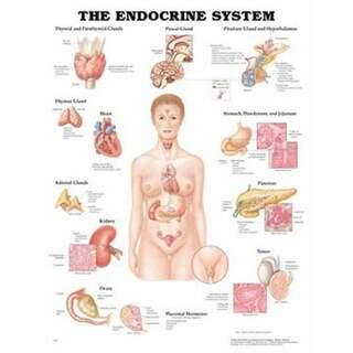 Endokrinsystemet laminerad plansch