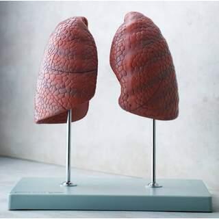 Modell av 2 lungor på fritstående ställ