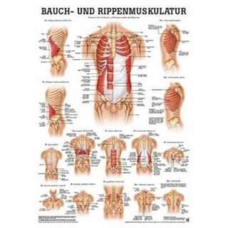 Mag / buk revbensmuskulatur affisch