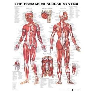 Kvinna muskler - Anatomiplansch 51x66 cm