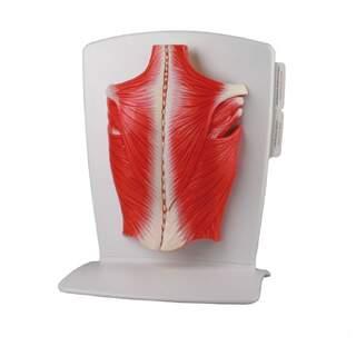 Modell av ryggens muskulatur i 4 delar