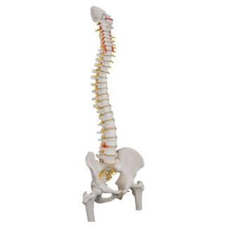 3B Scientific - Flexibel ryggradsmodell med delar av lårbenen