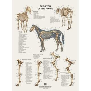 Hästens skelett plansch 60x80 cm