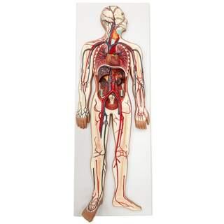 Modell av hjärt- och kärlsystemet