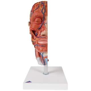 muskelmodell av huvudet och halsen