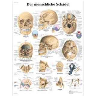 Kranieplansch latin