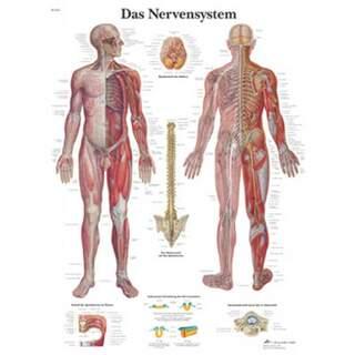 Nervsystemet (ditt nervsystem) laminerad affisch 51x67 cm ren latin och tyska