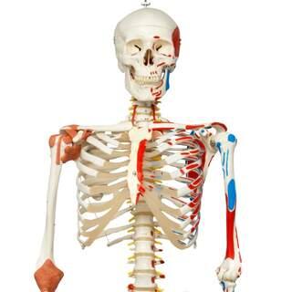 Skelettmodell med rörlig ryggrad, spinalnerver ledband m.m.