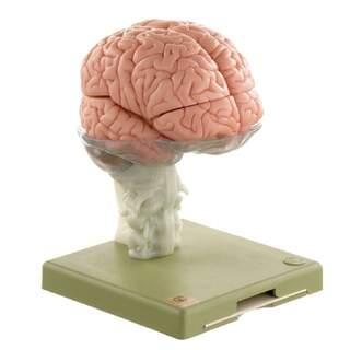 Hjärnmodell i 15 delar