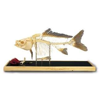 Fiskskelett - Karp (Cyprinus carpio)