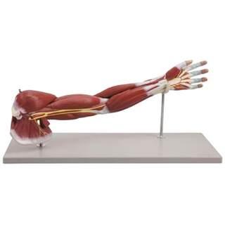 Model arm av övre extremiteter. Naturlig storlek i sju delar