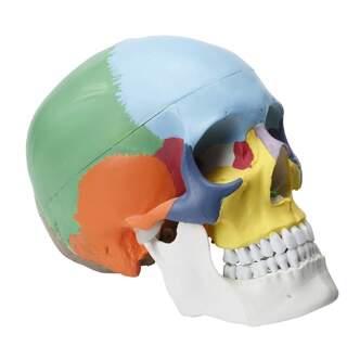 Färgkodad kraniemodell