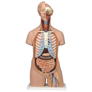 Anatomidocka - torso 16 delar