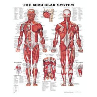 Anatomiplansch - Muskler med hårdplast och hål