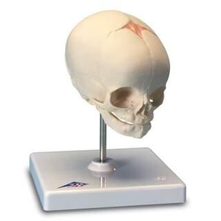 Kranium modell i fosterstadie (30 vecka)