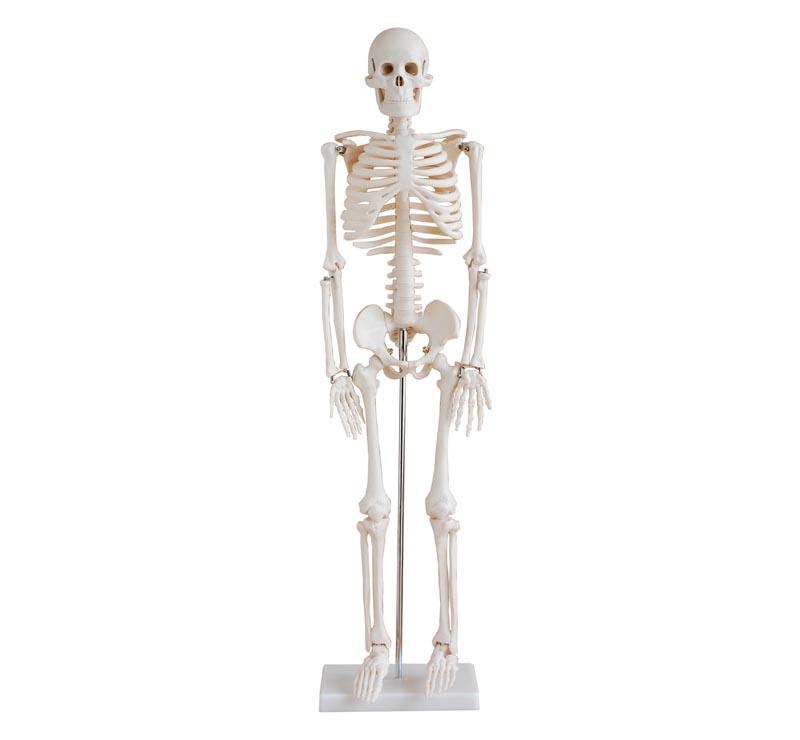 Miniskelett 85cm Skelett modell