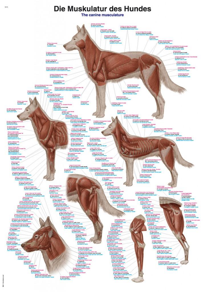 Hundens muskulatur 70x100 cm Affisch